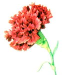 National Carnation Day