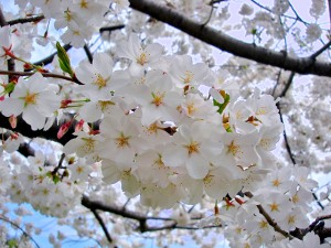The Yoshino cultivar is the most common in D.C. and can be found encircling the Tidal Basin