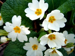 the common primrose